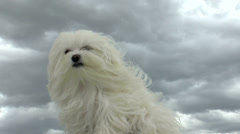 Maltese Dog Hair Blows In Wind Stock Footage