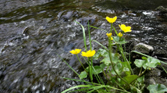 Young yellow blossoms of gentle marsh marigold at cascade Stock Footage