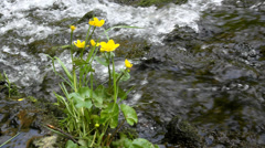 Yellow blossoms of marsh marigold with fresh green leaves at cascade Stock Footage