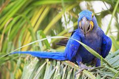 Brazil, Mato Grosso, Mato Grosso do Sul, Pantanal, hyazinth macaw, Anodorhynchus Stock Photos