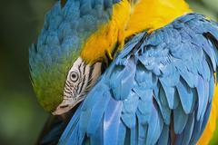 Brazil, portrait of blue and yellow macaw (Ara ararauna) - stock photo