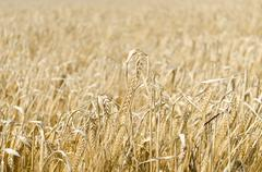 wheat field background - stock photo