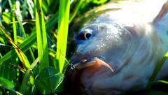 Fish with hook in mouth. Fishing. Carp fish closeup on green grass Stock Footage