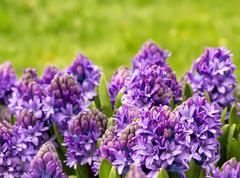 purple hyacinth in a garden - stock photo