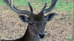Young deer. Deer head with antlers. Young stag. Deer antlers. Wild animal head Stock Footage