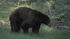 Black Bear walking in meadow at Yosemite National Park Stock Footage