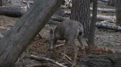 Mule Deer digging in the dirt at Yosemite National Park Stock Footage