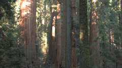 Stock Video Footage of pan of sequoia trees at Sequoia National Park