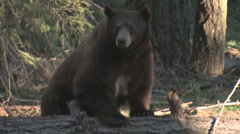 Black bear standing on log at Yosemite National Park Stock Footage