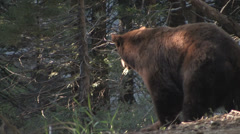 Black bear walking away from camera at Yosemite National Park Stock Footage