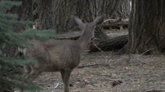 Mule deer walking by each other at Yosemite National Park Stock Footage