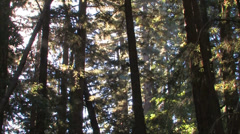 Pan up of redwood trees at Pfeiffer Big Sur state Park Stock Footage