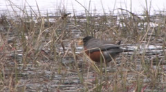 A robin searches for food by a lake in Yosemite National Park Stock Footage