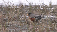 Stock Video Footage of A robin searches for food by a lake in Yosemite National Park