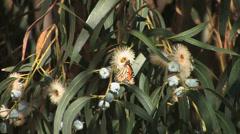 Monarch Butterfly in Eucalyptus tree Stock Footage