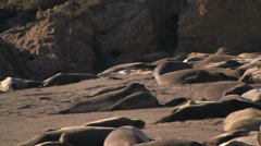Elephant seals Stock Footage