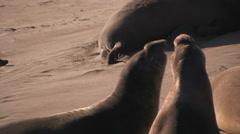 Elephant Seals Fighting Stock Footage