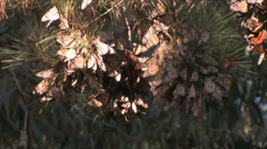 Monarch butterflies in a pine tree at Pismo Beach California Stock Footage