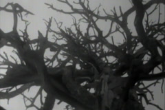 Vintage 16mm Old Film of Dead Tree - 4 clips Stock Footage