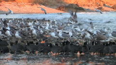 Coots and gulls at ocean edge Stock Footage
