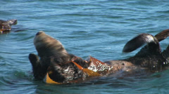 Sea Otter Cleaning itself Stock Footage