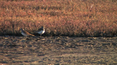 Killdeer birds in estuary in California Stock Footage