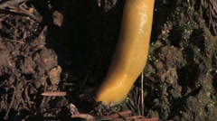 Close up pan of a Banana Slug at Big Sur California Stock Footage