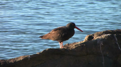 Black Oyster Catcher Stock Footage