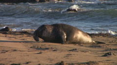 Bull Elephant Seal chasing other seals Stock Footage