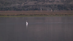 Great Egret in Morro bay estuary in California Stock Footage