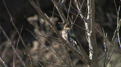 Warbler bird in a tree at Big Sur California Stock Footage