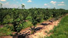 Apple orchard. Rows of apple trees. Apple farm landscape. Fruit orchard Stock Footage