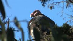 California condor Stock Footage