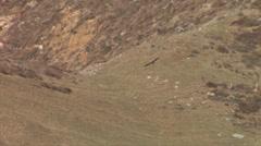 California Condor in flight soaring over mountains in California Stock Footage