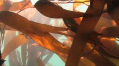 Kelp underwater in Morro Bay California Stock Footage