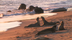 Elephant seals fighting at sunset Stock Footage
