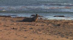 Bull Elephant Seal Stock Footage