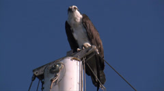 Osprey perched on a boat mast Stock Footage