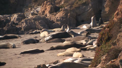 Elephant seal laying on beach Stock Footage