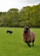 working with the sheep - stock photo