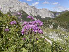 Stock Photo of Austria, Carnic Alps, Obere Wolayer Alm, Alpine Adenostyle, Adenostyles glabra