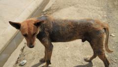 Dirty stray dog on poverty streets - 2 clips - stock footage