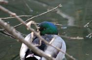 Stock Photo of Mallard Duck