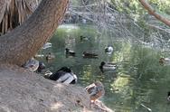 Stock Photo of Pond of ducks