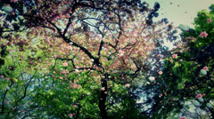 4K Blossoming Tree Flying Petals Spring 6 - stock footage