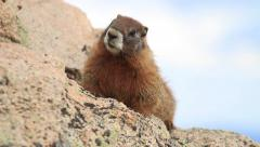 Marmot Rodeint Colorado Rocky Mountains Stock Footage
