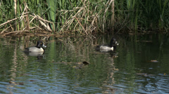 Ring-Necked Ducks - stock footage