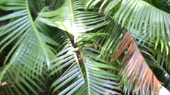 Palm tree leaves, shooting in conducting Stock Footage