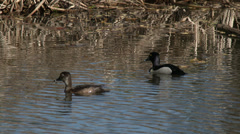 Ring-Necked Ducks Stock Footage