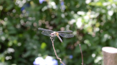 Dragonfly, macro shooting Stock Footage